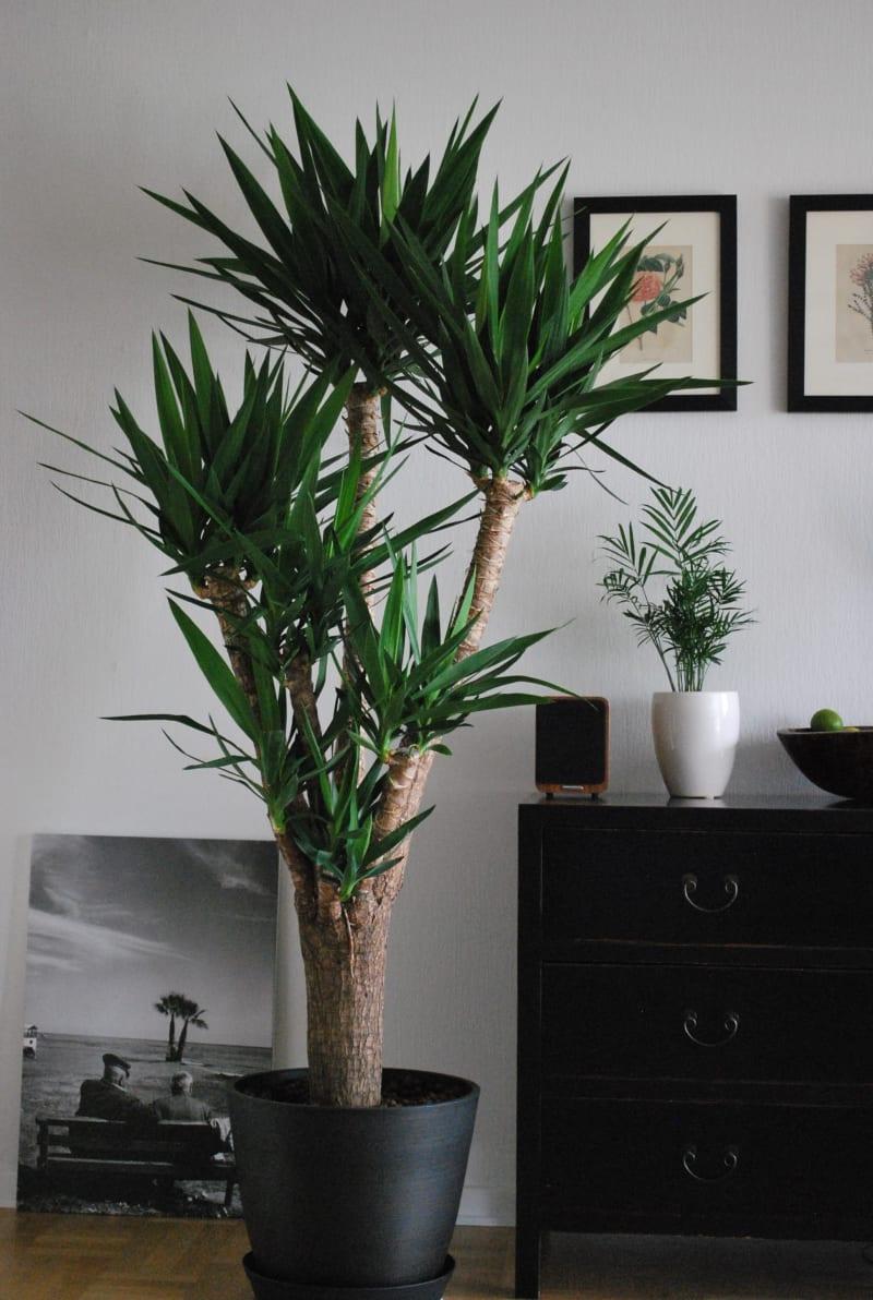 Riesen-Palmlilie (Yucca elephantipes)
