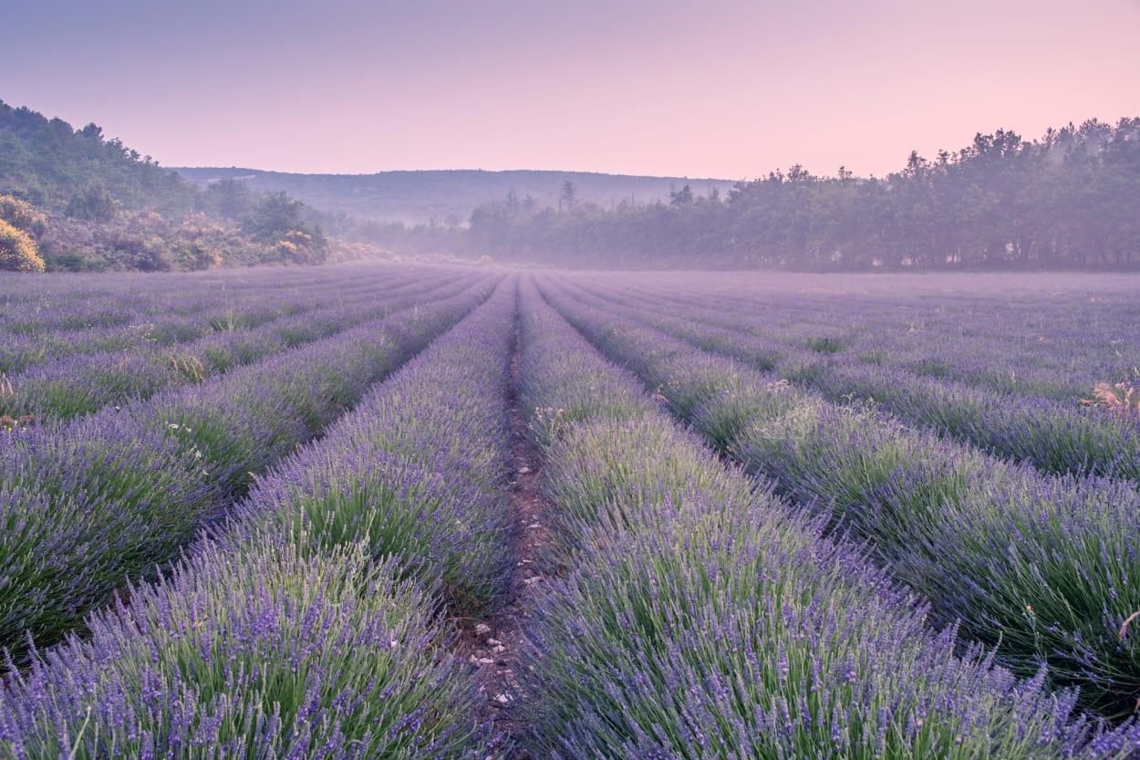 Lavendelfeld im Abendrot