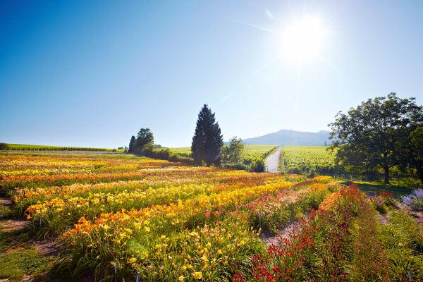 Farb-Flash! In den Feldern der Staudengärtnerei Gräfin von Zeppelin bei Sulzburg können Blumenliebhaber ihre Favoritinnen in situ aussuchen.