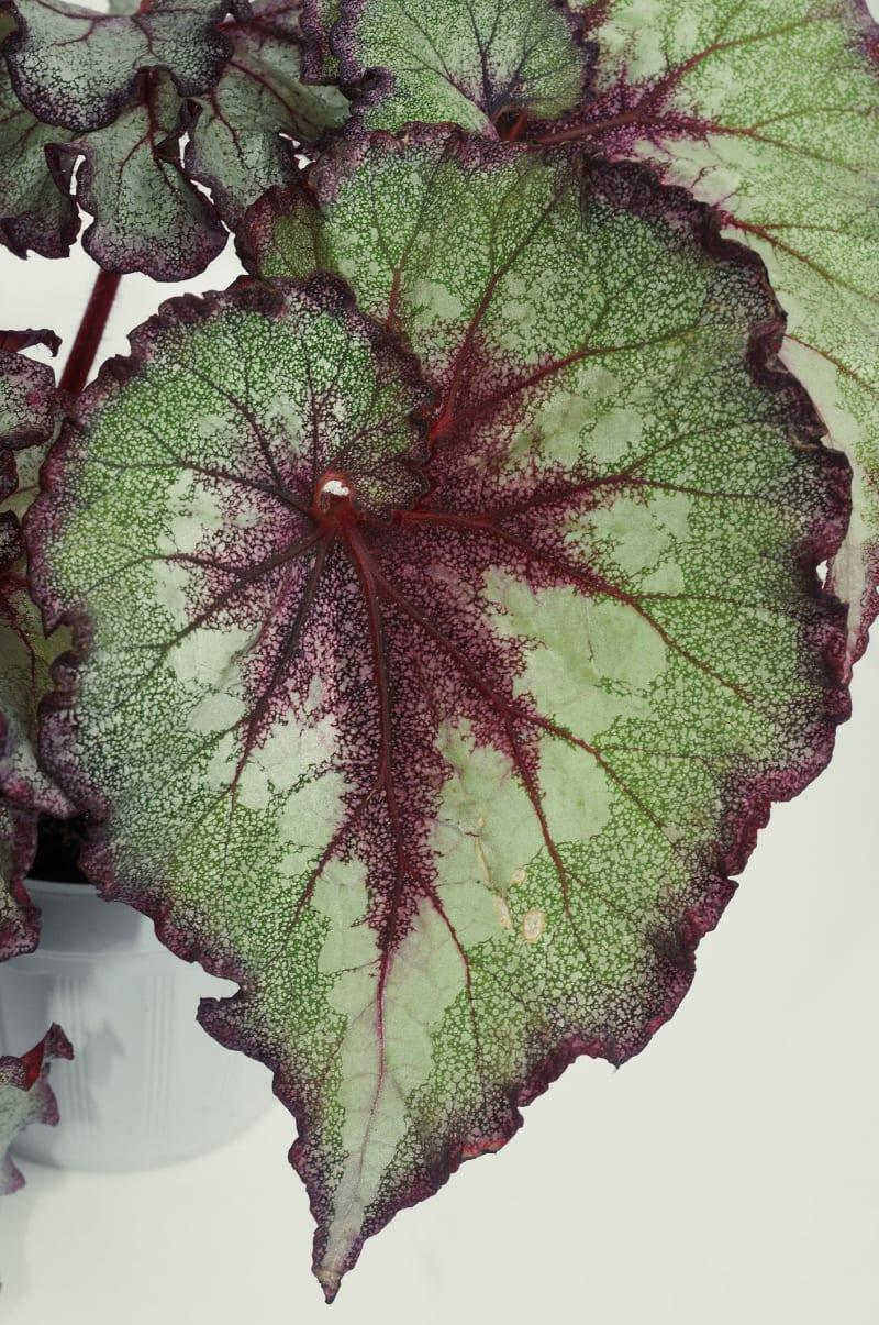 Blattbegonie (Begonia rex)