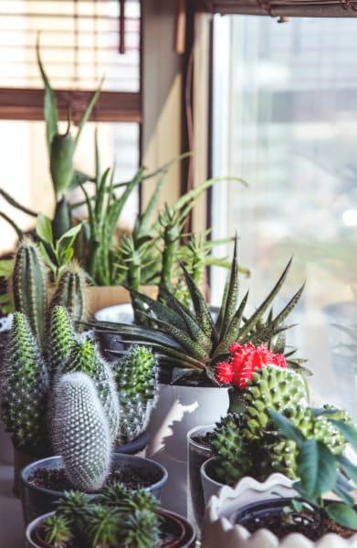 Nach Hashtag-Erwähnungen ist der Kaktus mit seinen 25.000 verschiedenen Arten die beliebteste Zimmerpflanze auf Instagram.