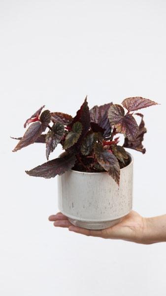 Diese Begonie besticht durch kleine rosafarbene Punkte auf ihren Blättern.