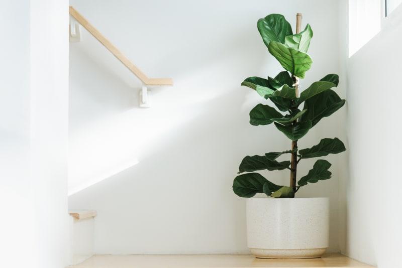 Geigenfeige Zimmerpflanze