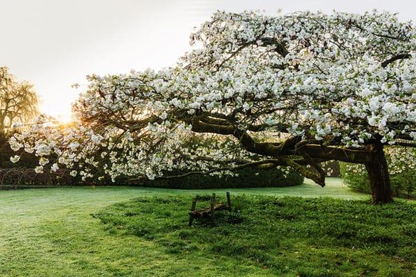 Wenn der Frühling Hof hält: Der blühende Kirschbaum bespielt eine        Rasenrotunde, in seinem Schatten wuchsen weiße Narzissen.