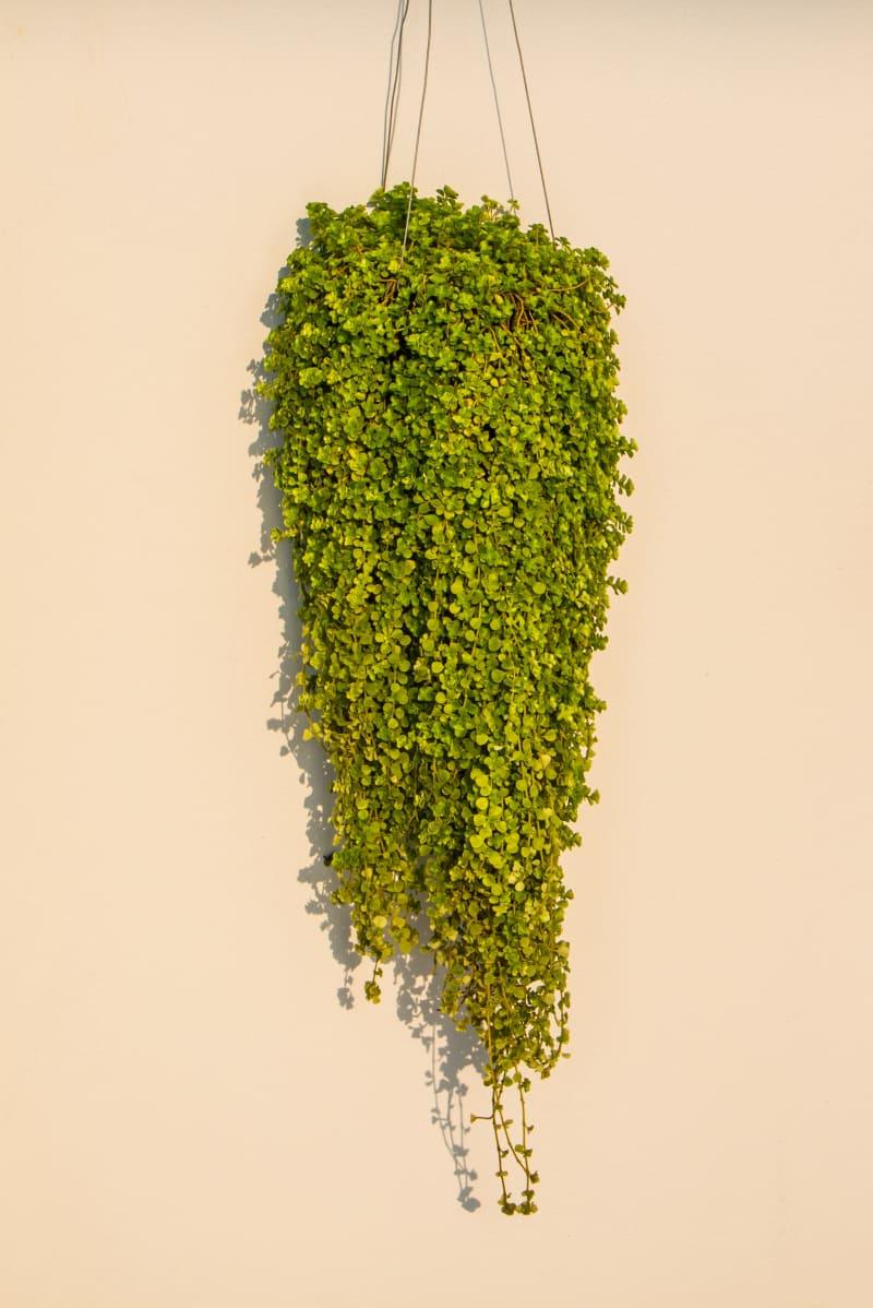 Urnenpflanze (Dischidia nummularia)