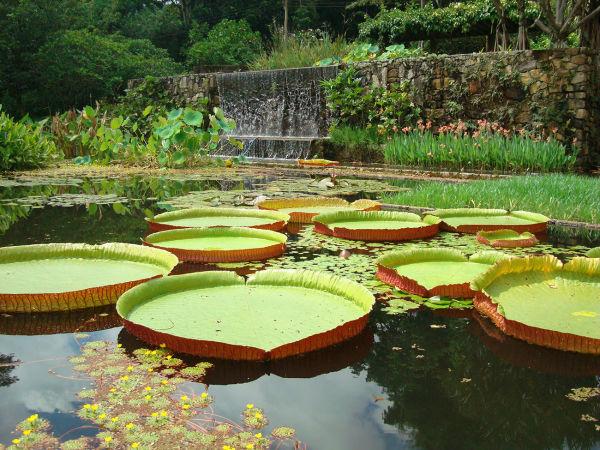 """""""Victoria amazonica"""" im Garten der Fazenda Vargem Grande von Clemente Gomes, 1979 angelegt von Roberto Burle Marx."""