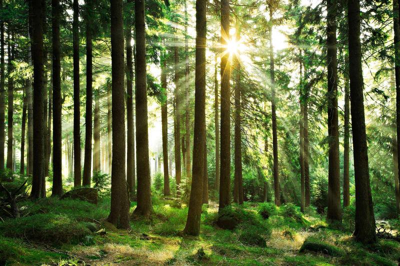 "Photowall ""Sunbeam Through Trees"""