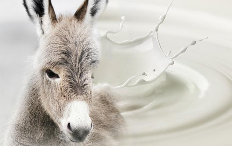 Donkey's milk is the new elixir