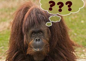 orang-utan mit fregezeichen die Maus