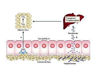 Medicina Ortomolecular: Obesidade esta Associado a alteração das Bactérias Intestinais