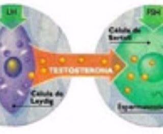 Reposição com hormônio HCG para melhora dos níveis de testosterona no homem