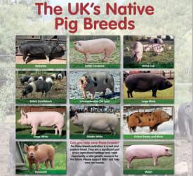 Rare Native Pig Breed Poster
