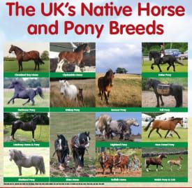 Rare Native Equine Breed Poster