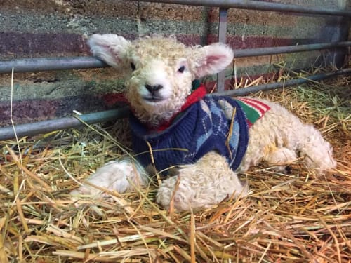 RESOURCES: Lambing time
