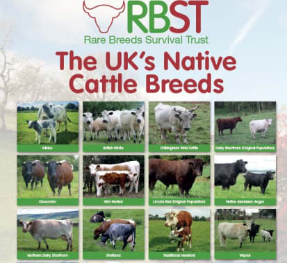 Rare Native Cattle Breed Poster