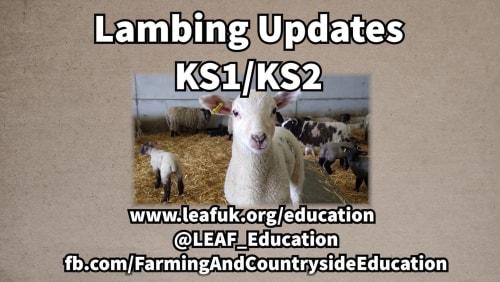 LEAF Lambing Updates 2021 (KS1/KS2 Version)