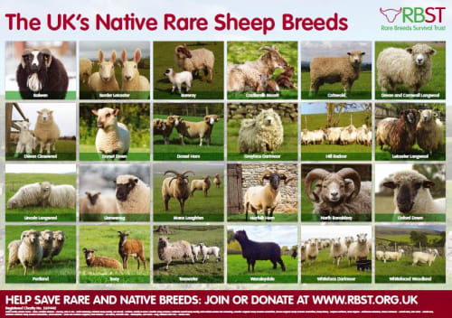 Rare Native Sheep Breed Poster
