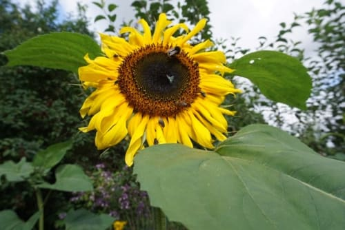 Let Nature Feed Your Senses: How to grow a sunflower