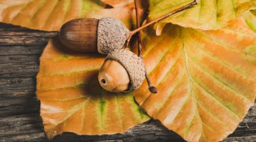 Acorns - Maths Activity