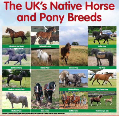 Rare Native Equine Breed Poster