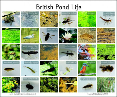 British Pondlife - Photographic – 3114