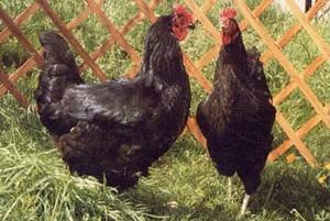 Domestic Fowl Trust