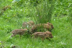 Bowland Wild Boar Park