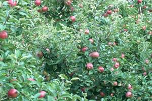 Wateringbury Pear Orchards