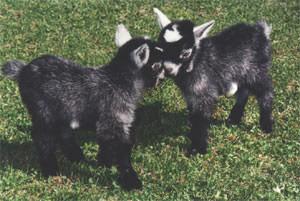 Bucks Goat Centre