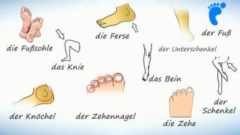 Части тела на немецком. Нога