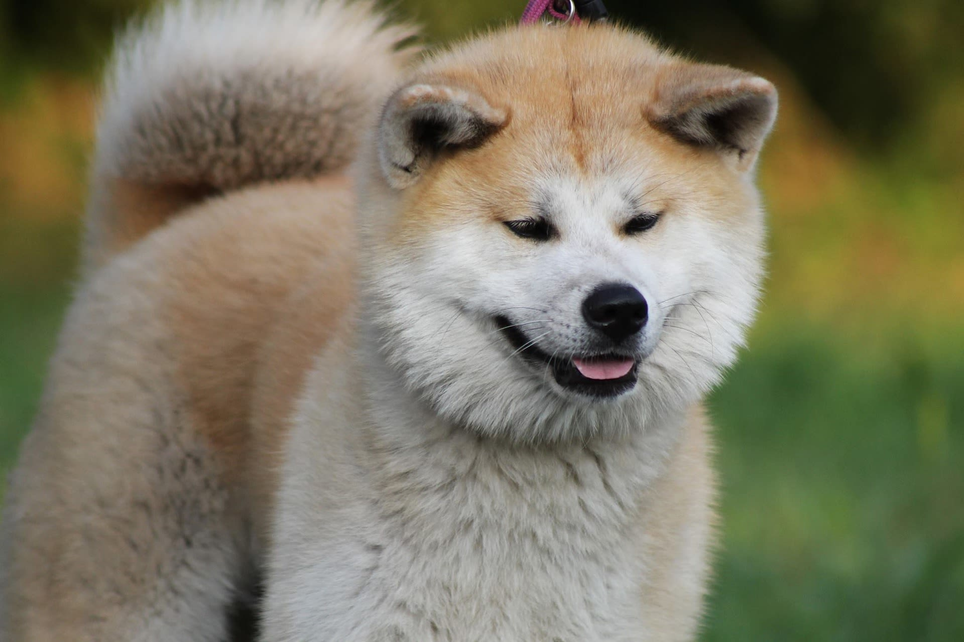 ザキトワ選手のマサルでおなじみの秋田犬に会えるかも?
