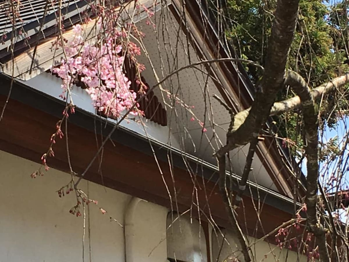 角館の桜は三歩咲程度でした。 | 秋田