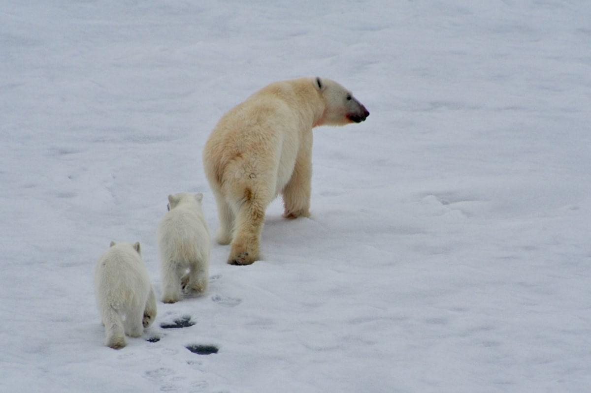 船の近くでシロクマ 遭遇! | 北極点での客船50イヤーズ・オブ・ヴィクトリー