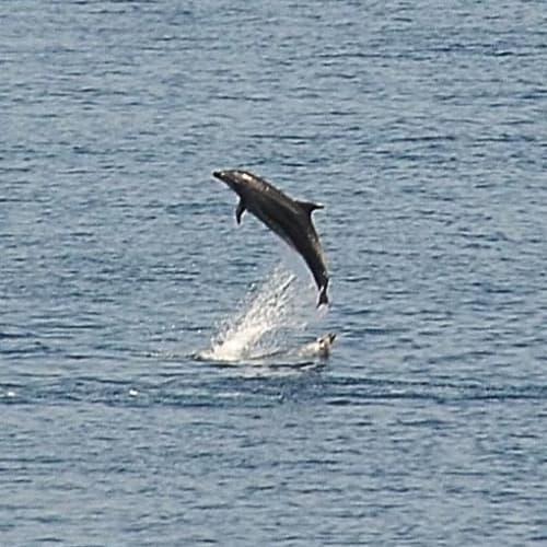 イルカの群れがロストラルと並走、乗客に大サービス | 隠岐の島(島根)での客船ロストラル