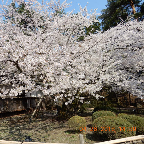 弘前城は桜満開。 | 青森