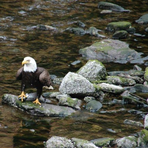 アラスカに分布する白頭鷲が魚を狙う | ケチカン(レビジャヒヘド諸島 / アラスカ州)