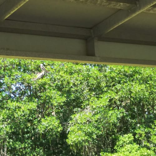 マングローブの横を抜けていきます。ペリカンなどの水鳥がたくさん見られました。残念ながらマナティは見られませんでした。 | ポート・カナヴェラル(フロリダ州)