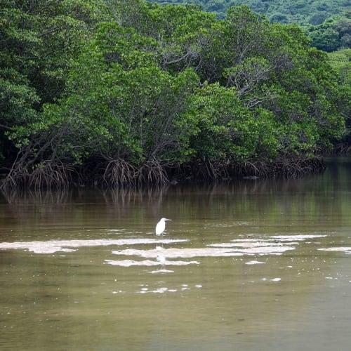 吹通川のマングローブ群落   石垣島