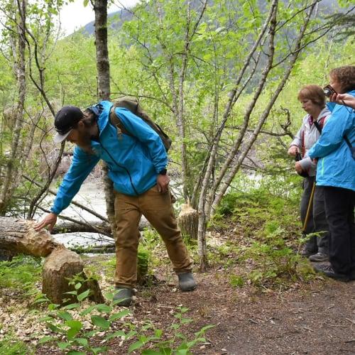 ビーバーが齧って倒した木を説明するトレイルハイクのガイド。 | スカグウェイ(アラスカ州)