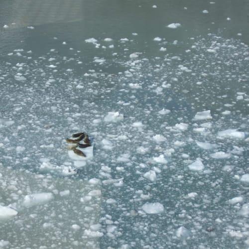 流氷とあざらし グレーシャーベイ | グレイシャーベイ(アラスカ州)