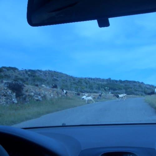 レンタカーで島巡り。ヤギが道を渡っています。 | フィリップスブルフ(セント・マーチン島)