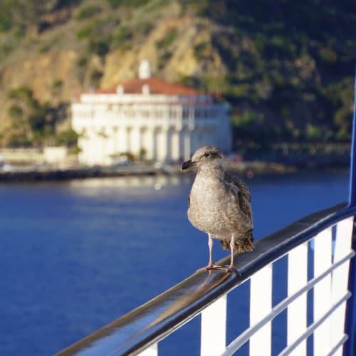 サンタバーバラでは海鳥たちがたくさん乗船して来ました。慣れているのか、人が近づいても全く動じない様子でした。 | サンタバーバラ(カリフォルニア州)
