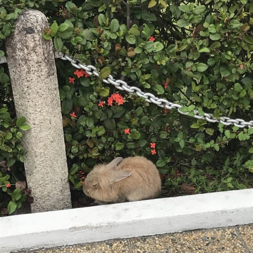 道端に野ウサギ発見!   ペナン島