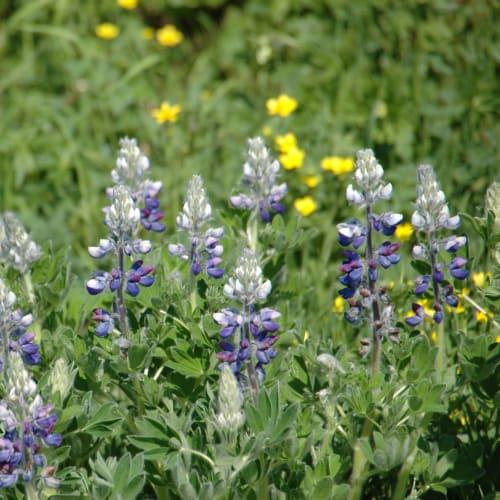 7月のアラスカは春と夏の花々が一斉に咲き乱れる | ジュノー(アラスカ州)