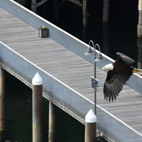 ケチカン出港直前に飛んできたハクトウワシです。  アラスカの最後に飛翔している姿を見れて感激しました。 | ケチカン(レビジャヒヘド諸島 / アラスカ州)