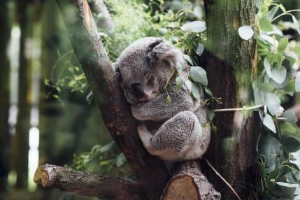 mornington peninsula koala