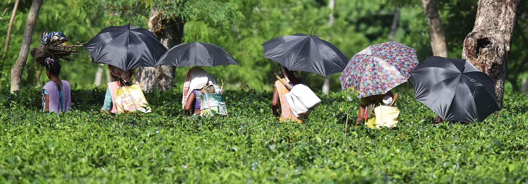 Indian tea plantation workers make their way to pick leaves at a tea garden in Sonitpur district. (BIJU BORO/AFP/Getty Images)