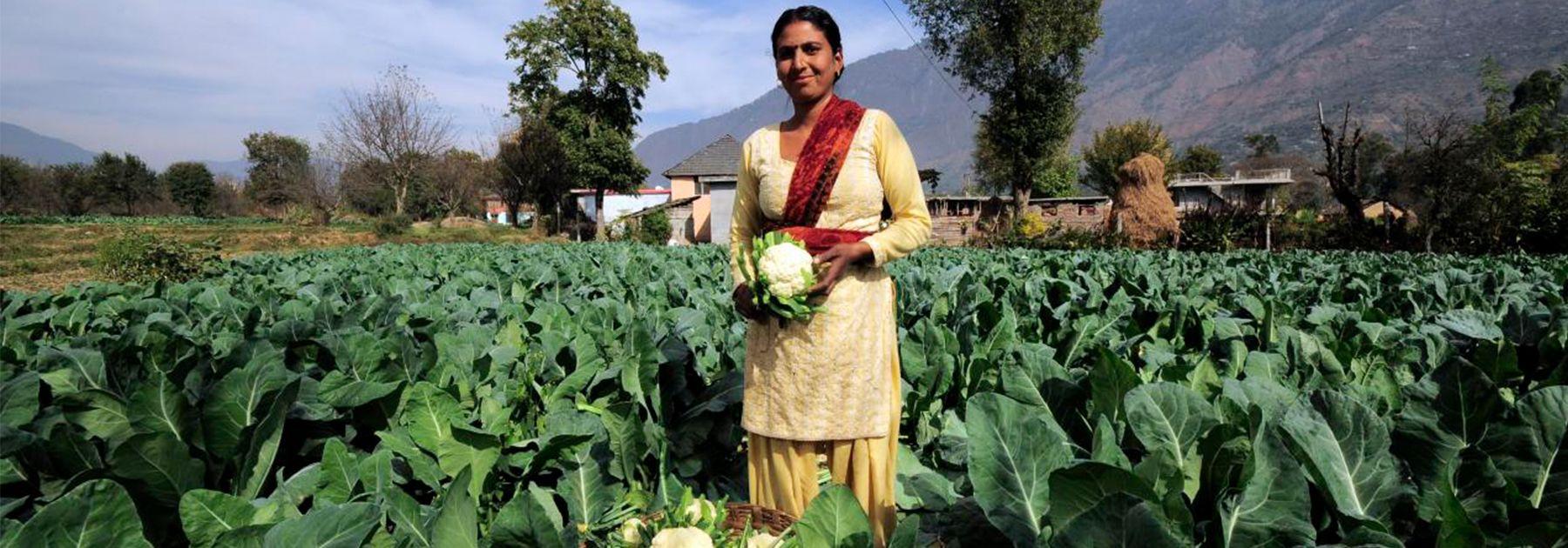 A farmer harvests this season's cauliflower crop near Kullu town. (Neil Palmer (CIAT), licensed under CC BY-SA 2.0)