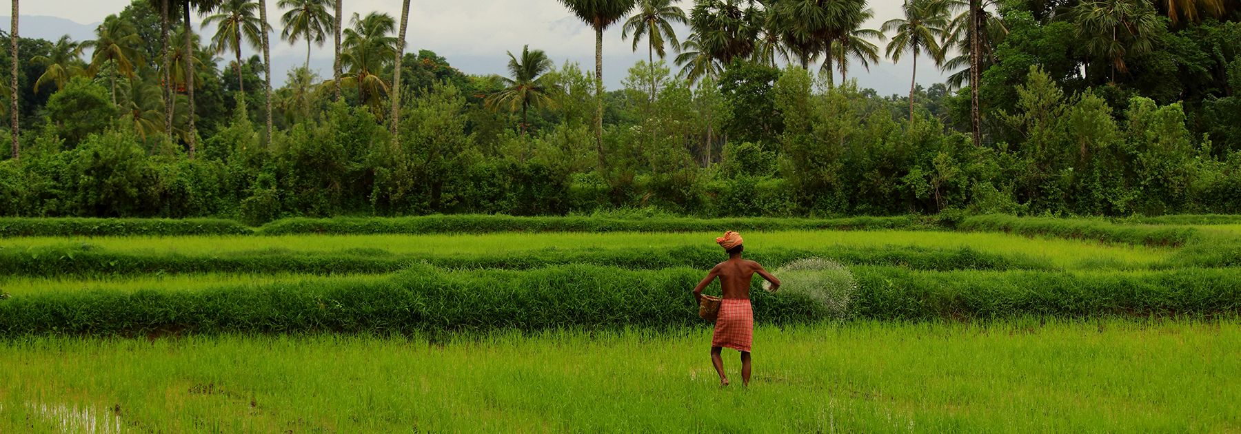 Fertilizing a rice paddy in Kerala.