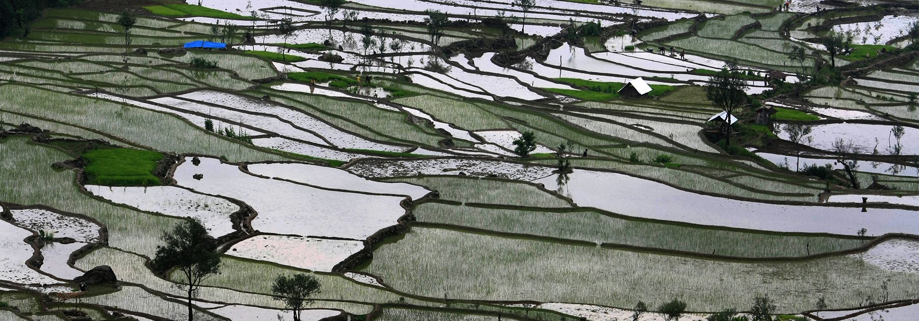 Tribal Naga farmers work in their water bedded rice paddy fields on the arrival of the monsoon at Kiwema Village. (STR/AFP/Getty Images)